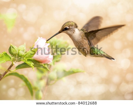 Dreamy image of a young male Hummingbird feeding on a light pink Althea flower