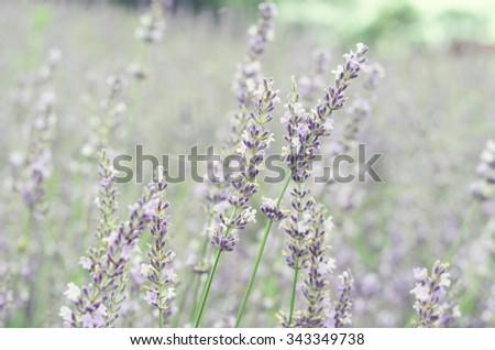 Dreamy Lavender #343349738