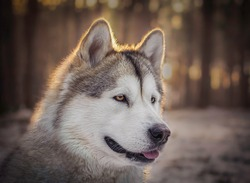 Dreamy portrait of Alaskan Malamute girl in a wintery forest of Kampinos National Park, Warsaw, Poland. Selective focus on the eyes of the pet, blurred background.