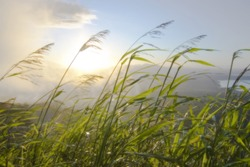 dreamy shot of blades of grass blowing in the wind against a rising sun over mountains