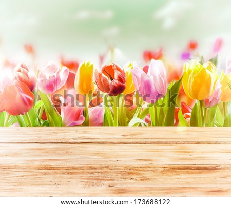Dreamy spring background of colourful tulips behind a rustic wooden fence or tabletop with a soft blur effect and focus to three flowers in the front
