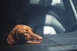 Dreary dog left alone in locked car. Abandoned animal concept.