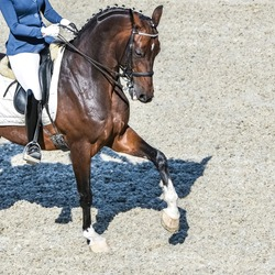 Dressage horse and rider in black uniform. Beautiful horse portrait during Equestrian sport competition, square.