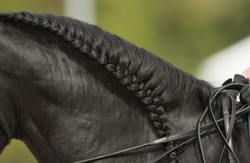 dressage horse black mane braided for horse show turn out for competition