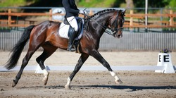 Dressage horse with rider during a dressage test in a strong trot with a stretched front leg.