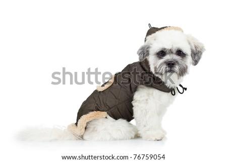 dressed bichon havanese puppy, sitting on a white background