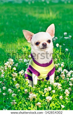 Shutterstock dressed dog on the grass