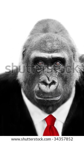 Dressed to Kill Silverback Gorilla with focus on shrewd inquisitive expression in eyes, also available wearing Stock market Tie