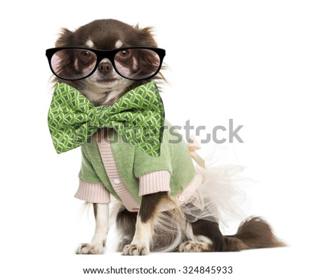 Dressed-up Chihuahua wearing glasses and a bow tie, isolated on white #324845933