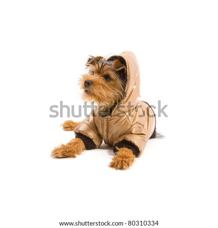 Dressed up Yorkshire Terrier isolated on white