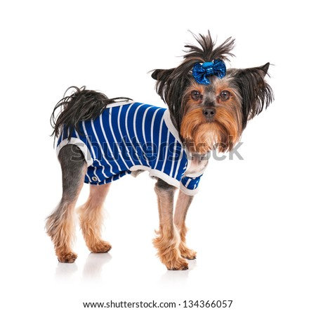 Dressed Yorkshire Terrier, 3 years old, isolated on white background