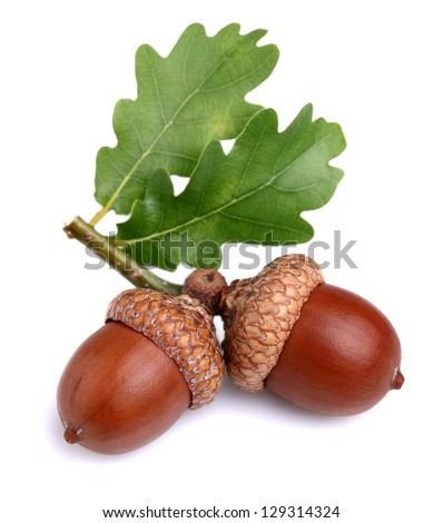 Dried acorn with leaves