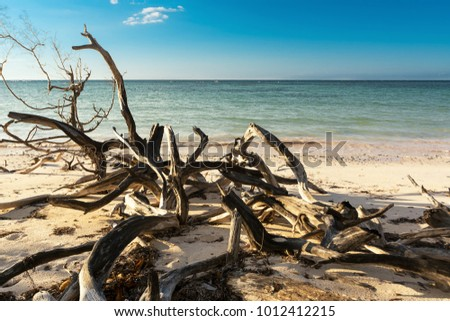 Dried branches on the beach of Cayo Jutias near Vinales (Cuba) #1012412215