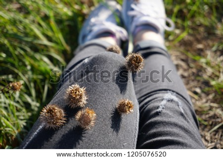 Photo of  Dried brown seed heads of lesser burdock plant attached to trousers, velcro plant, something unwanted concept.