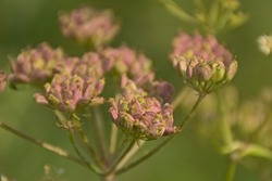 Dried brown seedpods of an overblown cow parsley plant, selective focus with green bokeh background , overhead view - Anthriscus sylvestris