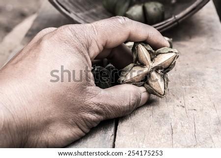 dried capsule seeds fruit of sacha-Inchi peanut in hand farmer