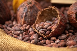 Dried cocoa beans and dried cocoa pods are poured into canvas sacks as raw materials for making cocoa powder, cocoa beverages and chocolate. Health drink concept.
