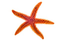 Dried common starfish / sea star (Asterias rubens) on white background