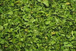 dried coriander leaf spice (Coriandrum sativum)