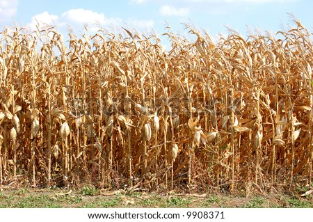 Fall Corn Stalk Clip Art http://www.shutterstock.com/pic-9908371/stock-photo-dried-corn-field.html