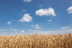 Dried corn maize field, blue cloudy sky. Cornfield rural landscape