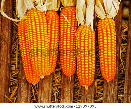 Dried corn on cobs