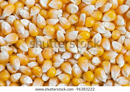 Dried Corn texture background.