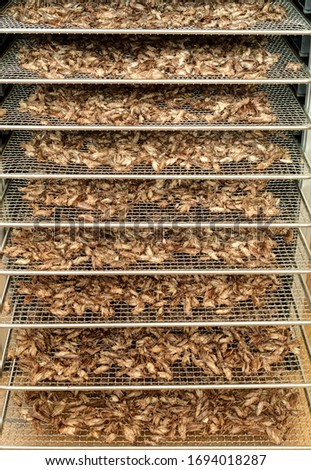 Dried crickets (Acheta Domesticus) in dehydrator. Stock photo ©