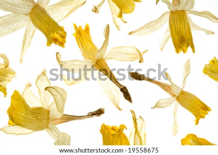 Dried Daffodil Flowers Arrayed on a White Background