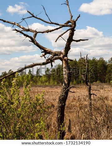 Dried dead tree trunk on marshland. Magazyn nature reserve in Sobiborski Landscape Park in Poland, Europe. Zdjęcia stock ©