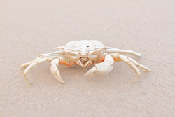 Dried Death Crab Skeleton, Front View, on the White Beach Sand, Hua Hin, Thailand