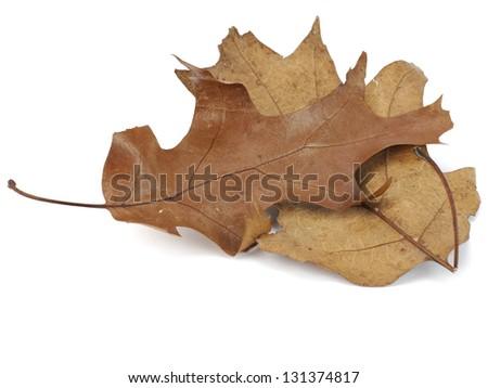 dried decorative oak leaf on a white background - stock photo