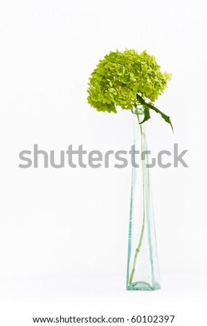 Dried delicate green hortensia (hydrangea) flowers in tall glass vase on isolating background