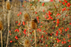 Dried donkey thorn against a background of ripe rose hips