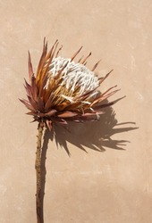 dried exotic flower Protea and shadow on beige  paint textured background close up . poster. minimal floral concept