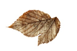 dried fall silver leaf of raspberry, isolated element