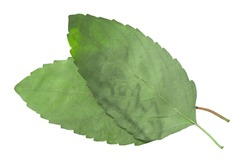 Dried flattened Rama tulsi leaves (Ocimum tenuiflorum), isolated, top view