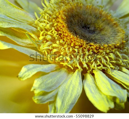 Dried flower of chamomile on yellow background. Close up./Dried flower of chamomile.