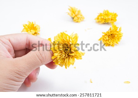 Dried flower with hand, Dried chrysanthemum on white background.