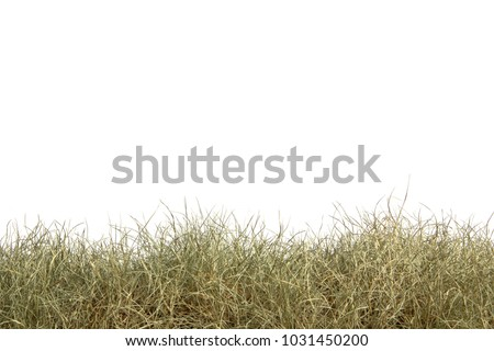 Dried grass isolated on white background.dry grass field.