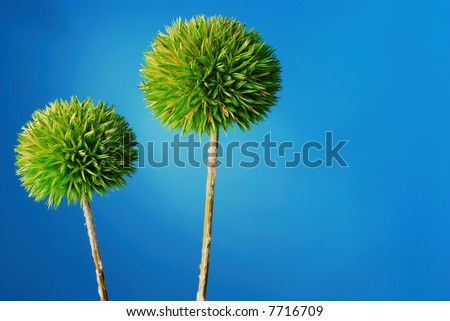 dried green drumstick allium plant over blue background