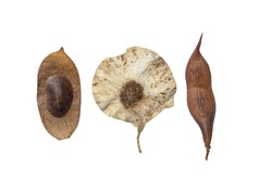 Dried jungle tree seeds on white background.