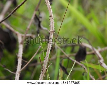Dried Lantana flower branches. location Kertek, Wonosobo, Central Java, Indonesia Stock fotó ©