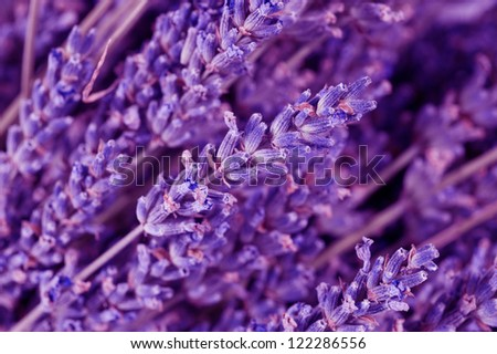 Dried lavender flowers - stock photo
