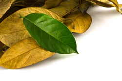 Dried Leaf and green leaf isolated over white
