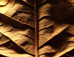 Dried leaf; fine details and very high-res for backgronds.