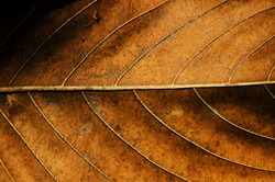 Dried leaf texture.