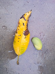 dried leave and mango on wet floor