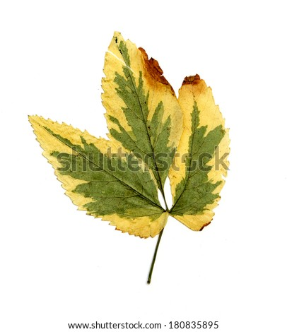 dried leaves on white background - Shutterstock ID 180835895
