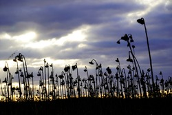 Dried out sunflower field in winter as a black silhouette with clouds and sunbeams in the background. Landscape with sunflowers.